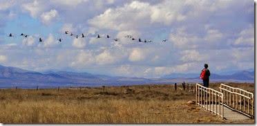 Sand Hill Cranes Wilcox AZ 032