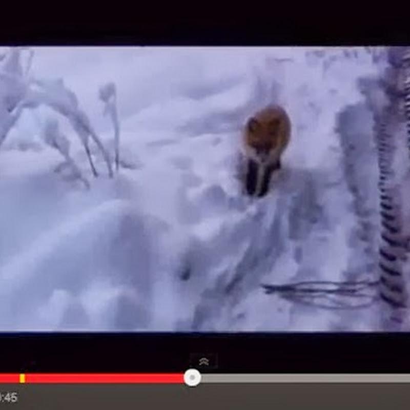 Αλεπού τρώει Snickers