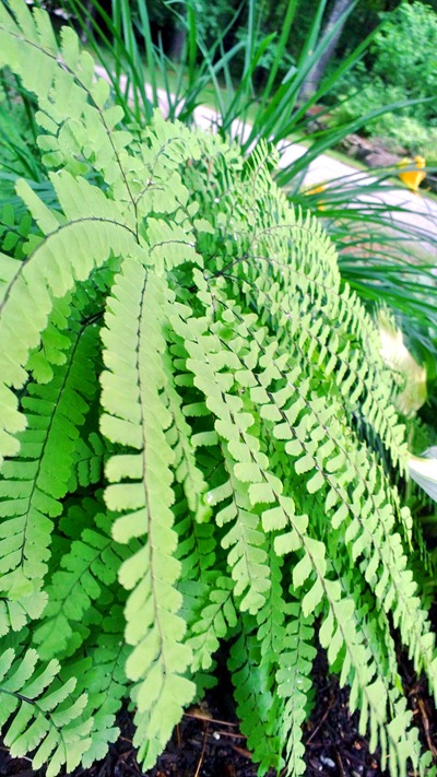 Fern | Ideas in Bloom