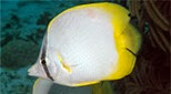 Antilles poisson papillon ocellé