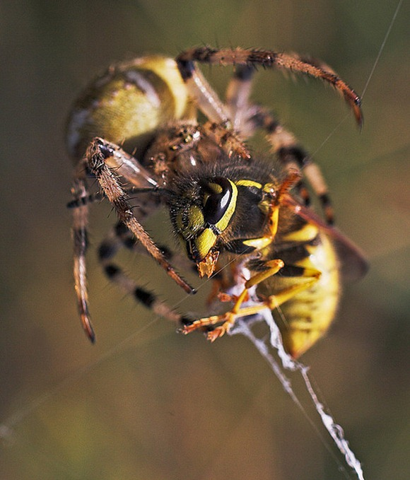Shock and awe - spider vs wasp
