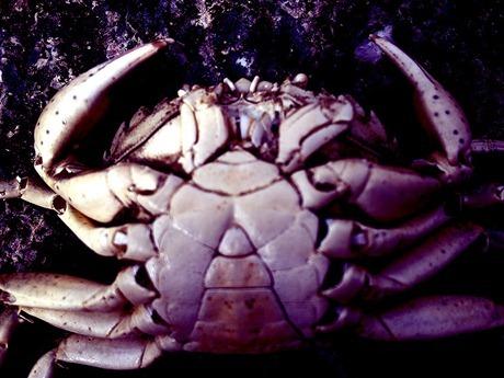 crab-11