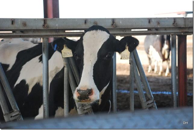 12-08-13 A Shamrock Farms Tour Stanfield (67)