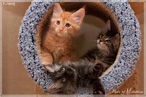 Фото история котят мейн кун в возрасте 7,5 недель 15