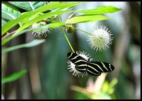 01b - Fakahatchee Strand Boardwalk - Zebra Butterfly