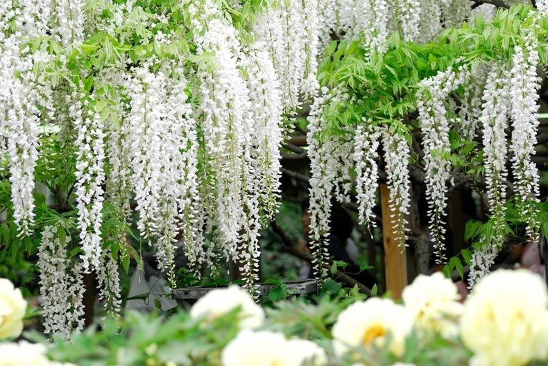 ashikaga-flower-park-18