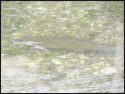2 trout