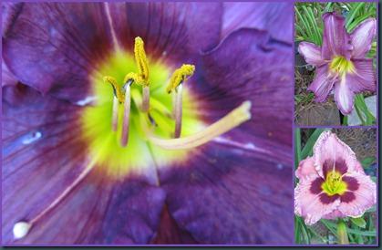 purple day lilies0608