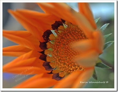 Orangeblomma
