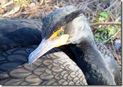 Cormorant on the Anhinga Trail