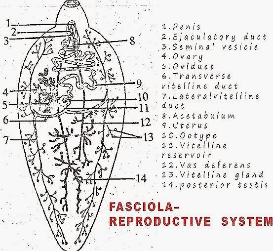 fasciola-reproductive-system-liverfluke