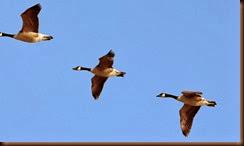 Geese, Miranda