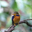 Chestnut (Rufous)-collared Kingfisher-05.jpg