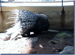 0249 Alberta Calgary - Calgary Zoo Destination Africa - African Savannah - African Crested Porcupine