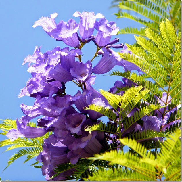 Or Yehuda Jacaranda flower 2010