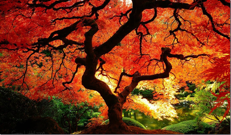 Japanese Maple in Fall Color