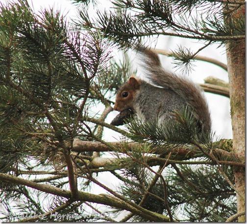 93-grey-squirrel