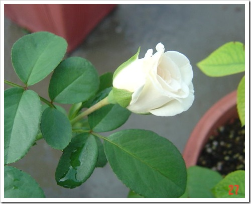 白色梅安01白色梅楊