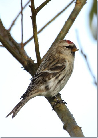 arctic_redpoll3