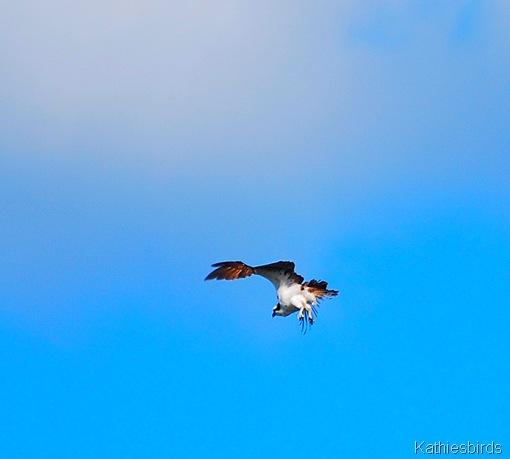 6. osprey-kab