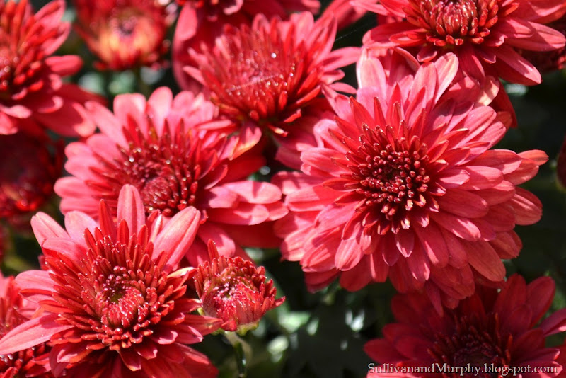 red mums close-up