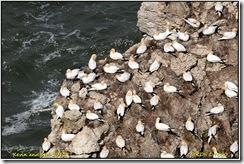 Bempton Cliffs D7000  05-05-2012 13-20-054