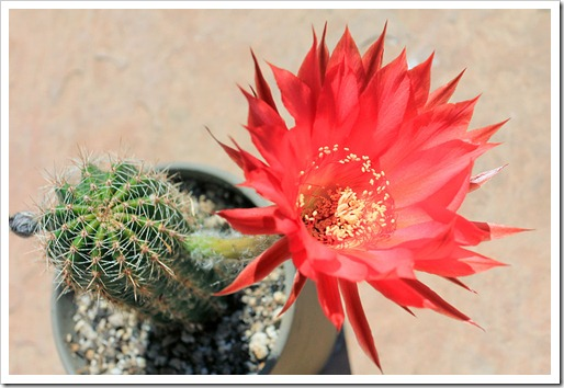 130518_Echinopsis-orange-red_17