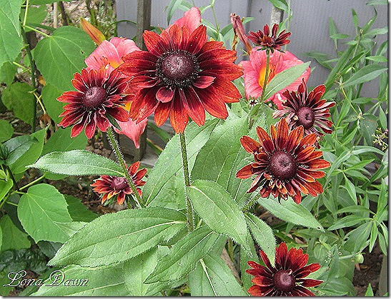 Rudbeckia_July2