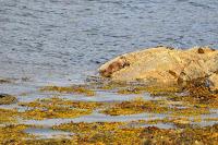 Luca_vanDuren_Young otter near Craignure harbour.JPG