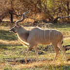 Kudu auf Chief's Island © Foto: Ulrike Pârvu   Outback Africa Erlebnisreisen
