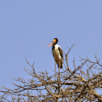 Ruaha Nationalpark, Sattelstorch © Foto: Ulrike Pârvu | Outback Africa Erlebnisreisen