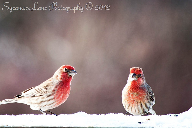 house finch- SycamoreLane Photography- web