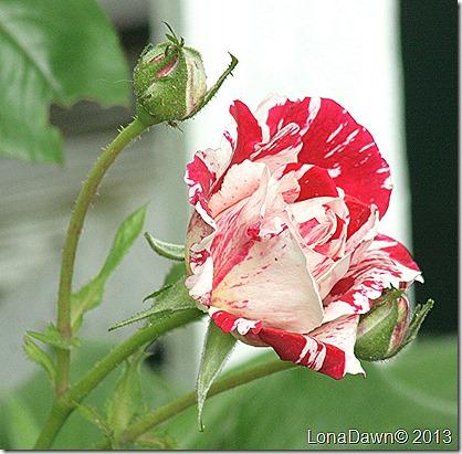 Rose_Scentimental_Bud