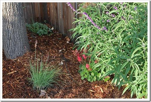 110528_melinus_nerviglumis_planted