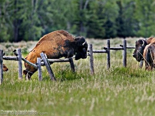 animais national geographic desbaratinando  (38)