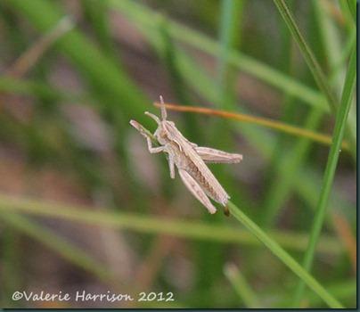 22-tiny-grasshopper