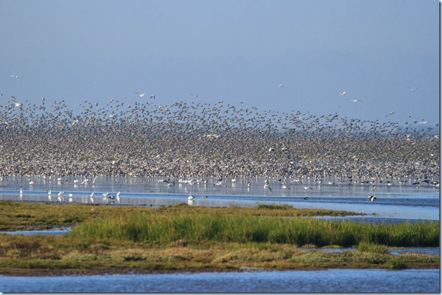 Snettisham_waders-4