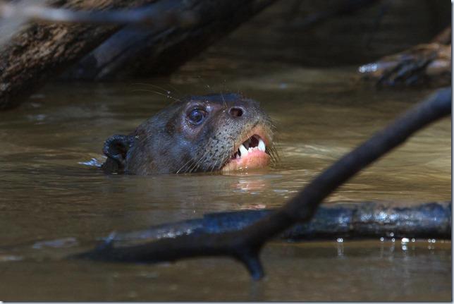 Giant_River_Otter-2