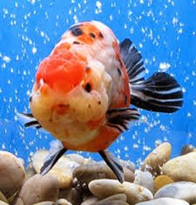 Amazing Pictures of Animals, Photo, Nature, Incredibel, Funny, Zoo, Ranchu, Goldfish, Alex (1)