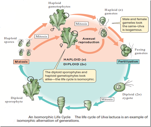 Ulva asexual reproduction pictures