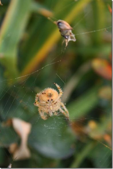 Crab Spider! 020