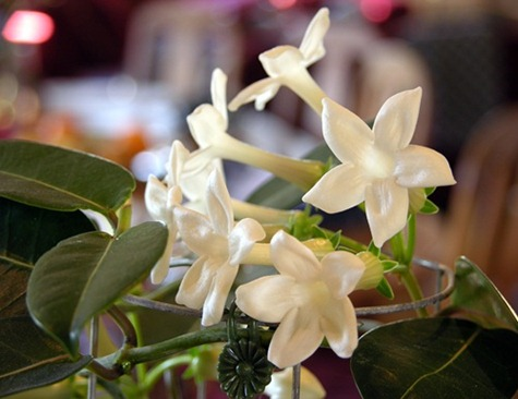 12 stephanotis