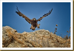 - Golden Eagle landing_ROT8667-Edit February 19, 2012 NIKON D3S