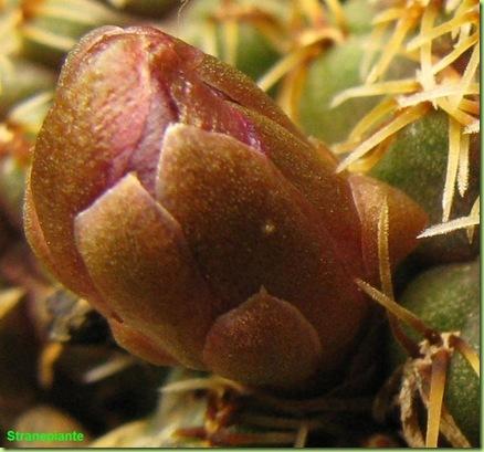 Rebutia canigueralii subsp. pulchra bocciolo