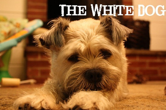 cailey-white dog