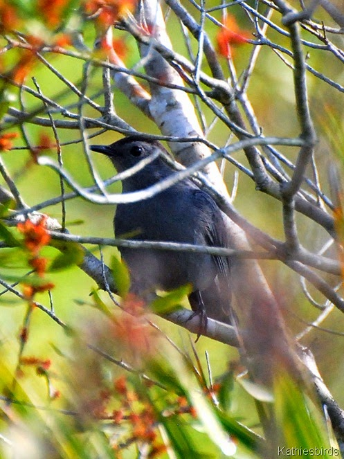 6. gray catbird-kab