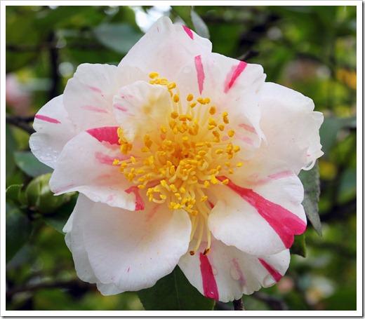 120317_Capitol_Park_Camellia-japonica_50