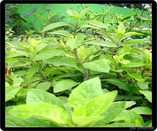 tanaman-herbal-untuk-kolesterol