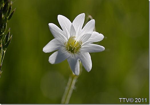 kukkia hyttynen mato 089