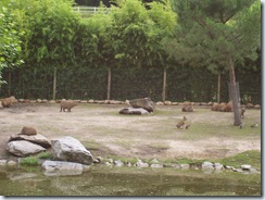 2011.07.26-063 capybaras et maras